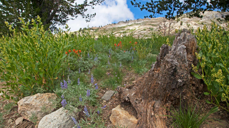 flowers in lamoille canyon & ruby mountains