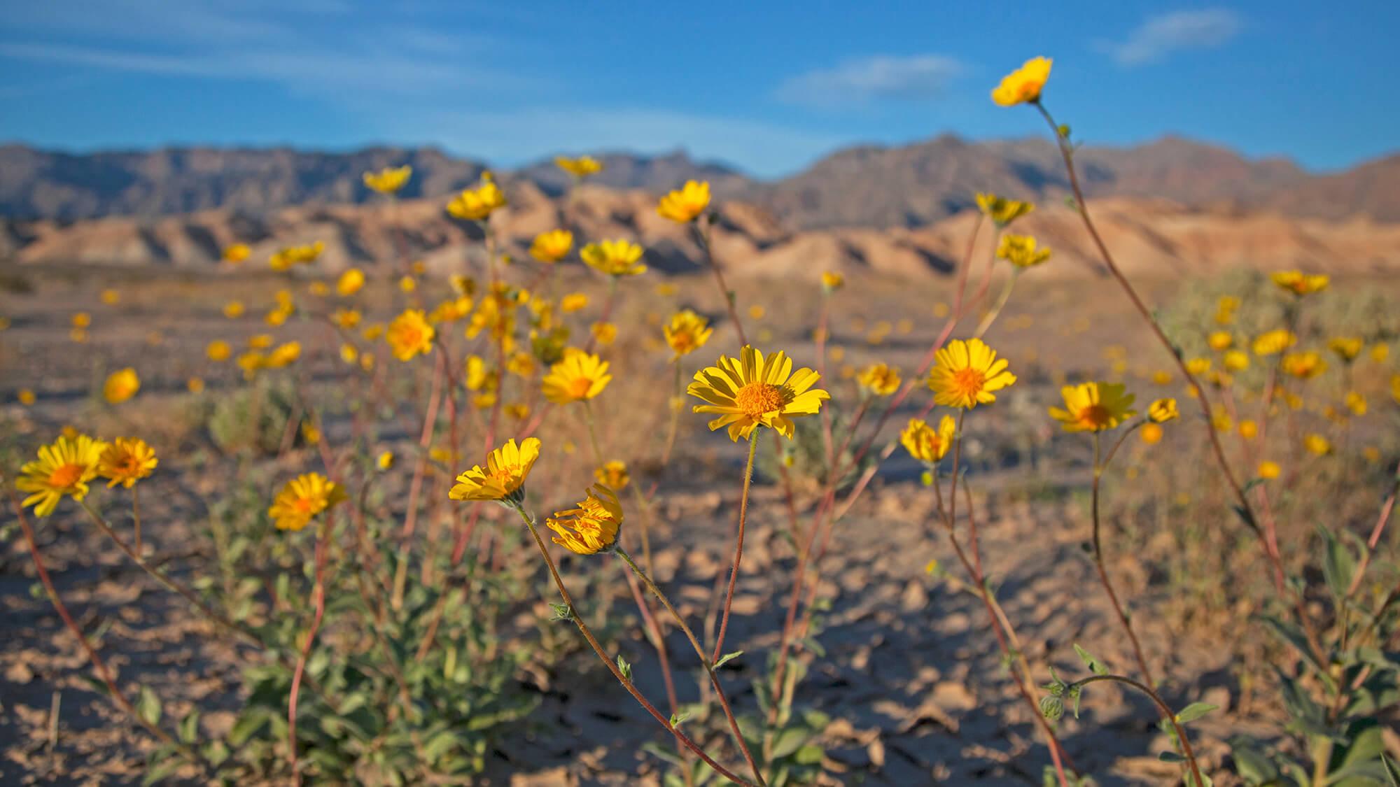 death valley flower bloom