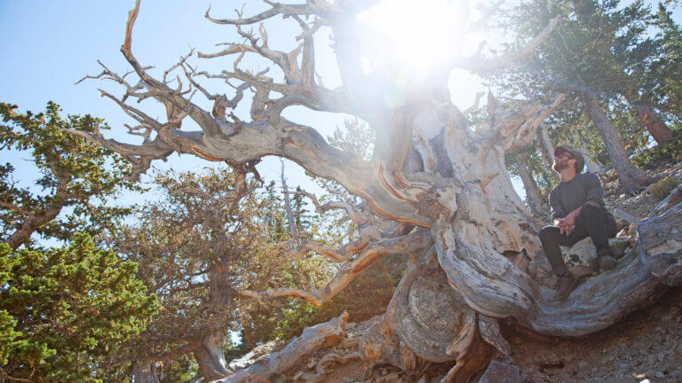 great basin national park bristlecone tree