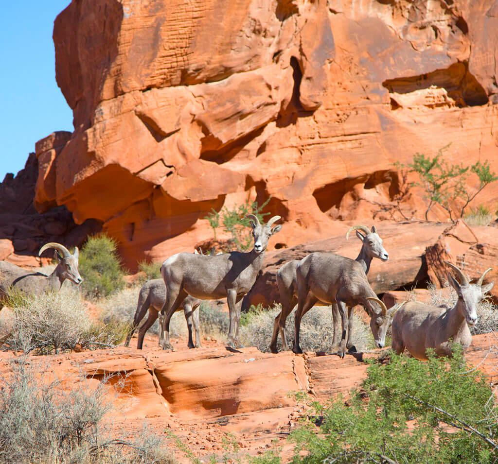 Wildlife, Nevada Wildlife, Nevada Bighorns, Bighorn Sheep, Desert Bighorns