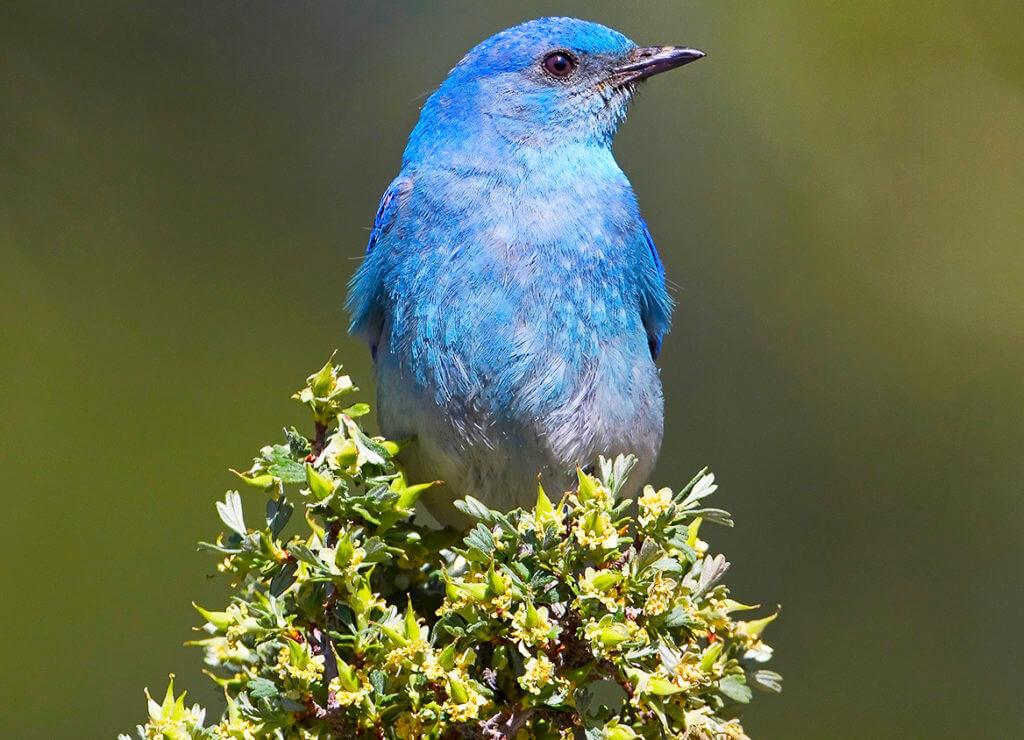 Mountain Bluebird, Nevada Bluebird, Nevada Mountain Bluebird, Nevada State Bird