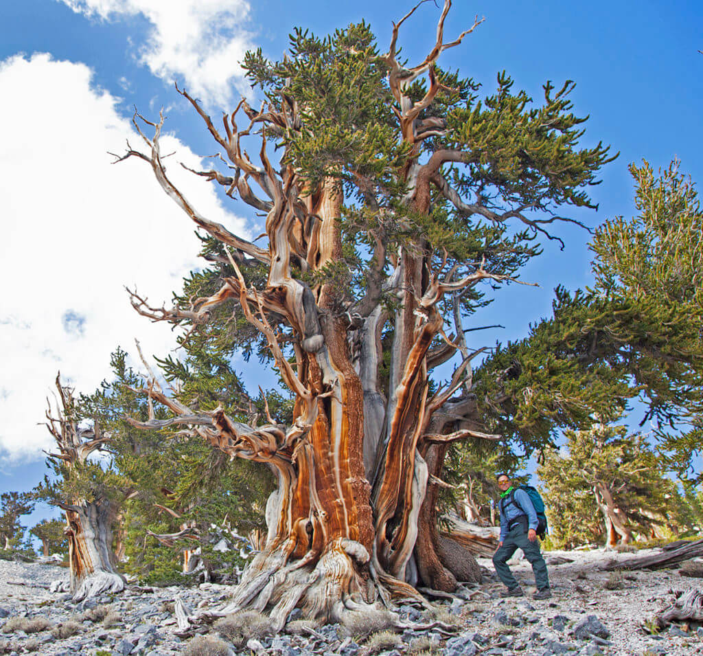 Bristonecone Pine, Ancient Tree, Ancient Bristlecone, Bristlecone Pine Forest