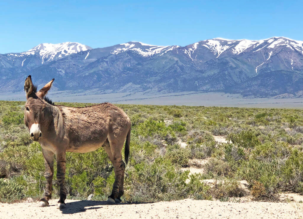Burro, Nevada Burro, Wild Burro, Wild Donkey, Nevada Wildlife