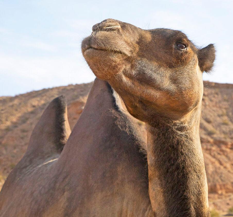Camels, Camel Safari, Wildlife Preserve, Animal Preserve, Mesquite Camel Safari, Camel Safari