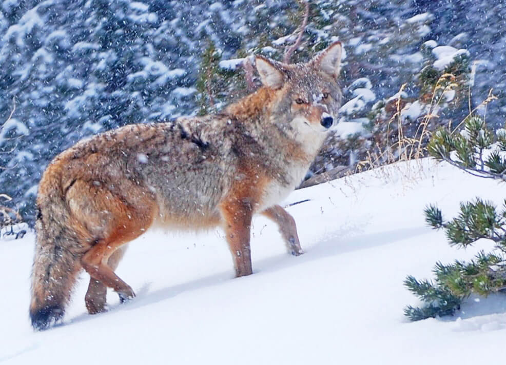 Coyote, Wild Coyote, Nevada Coyote, Wildlife Viewing, Nevada Wildlife