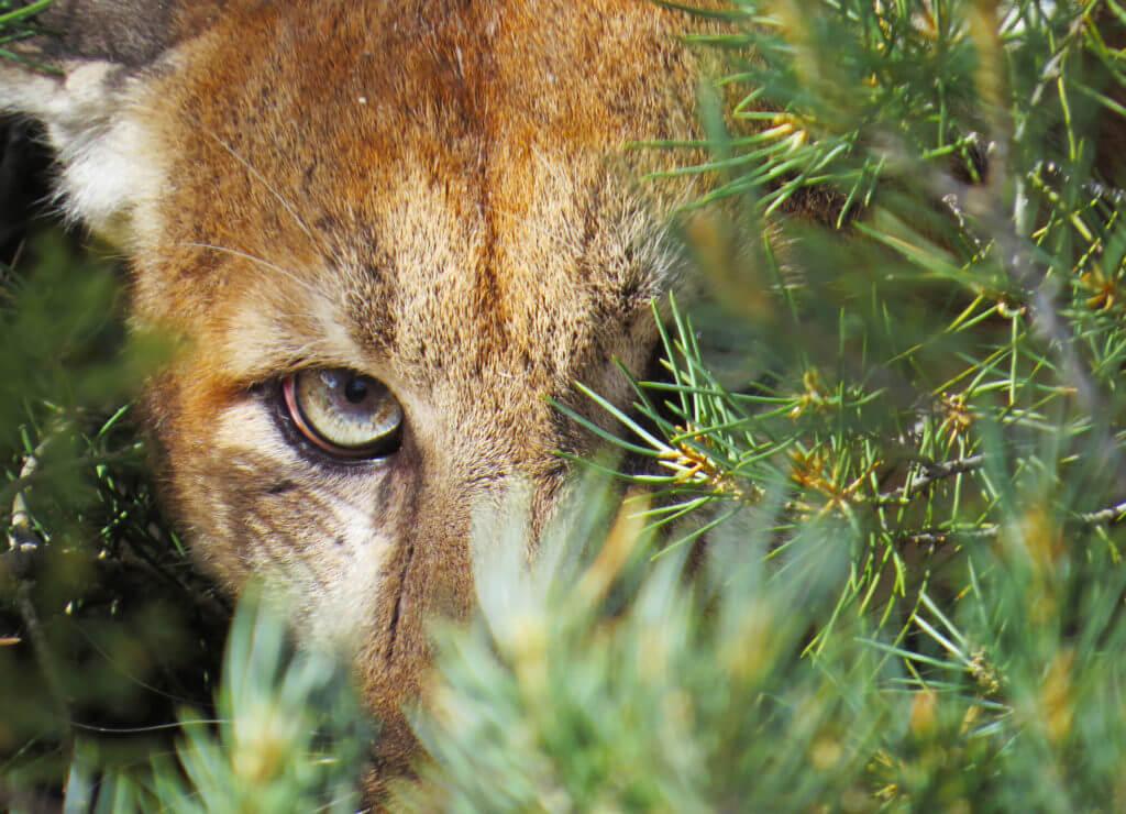 Nevada Mountain Lion, Mountain Lion, Nevada Wildlife, Wildlife Nevada