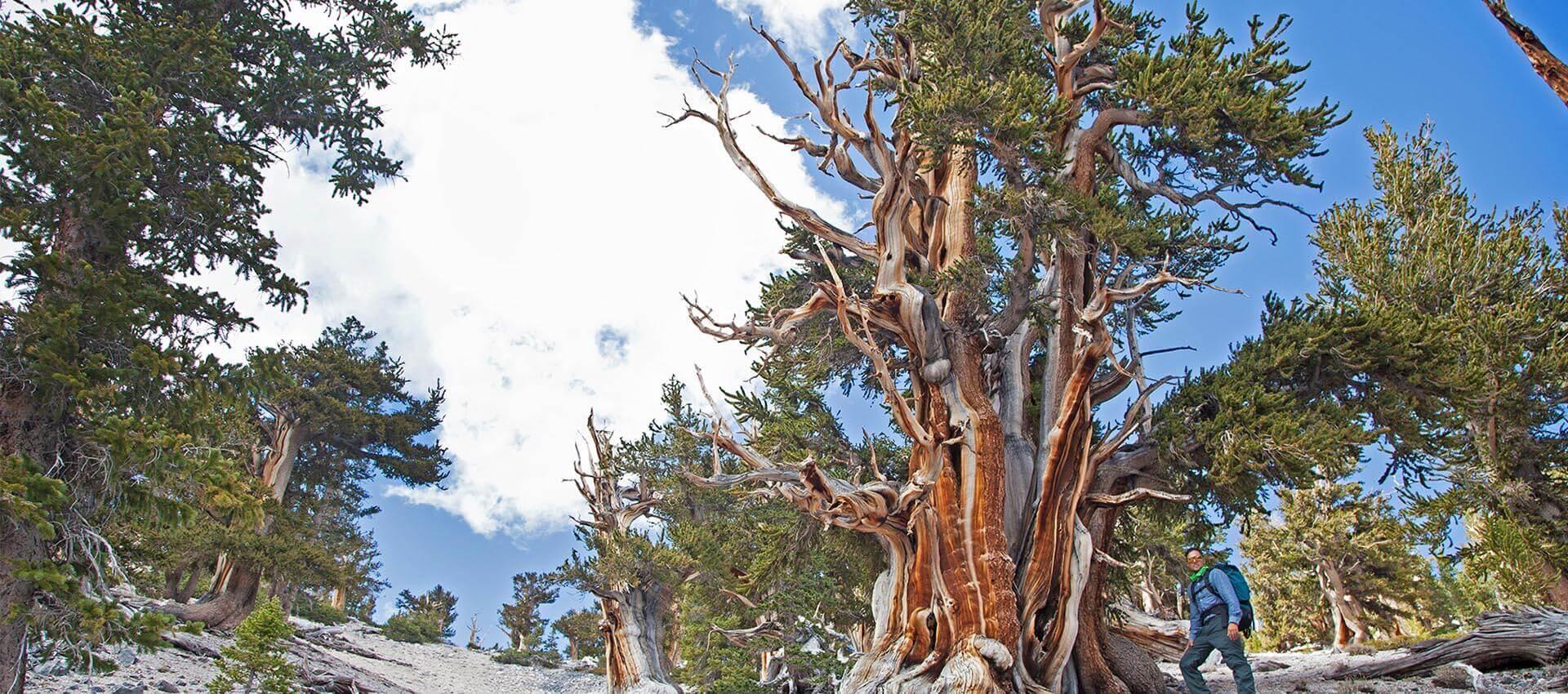 Bristlecone Pine, Nevada Bristlecone Pine, Great Basin National Park, Oldest Tree, Oldest Living Tree