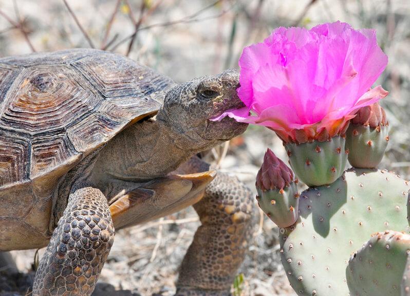 Desert Tortoise, Tortoise, Wild Tortoise, Nevada Desert Tortoise