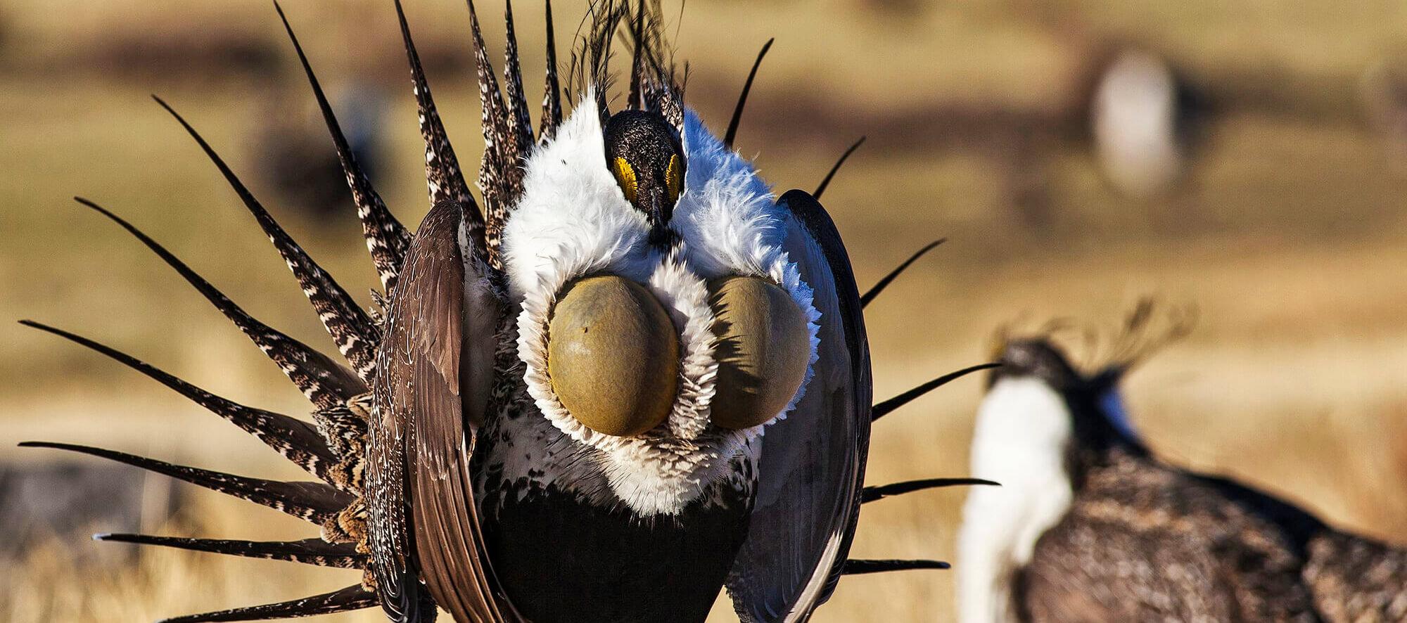 Nevada wildlife, Nevada wildlife photography, Sage Grouse, Nevada Sage Grouse